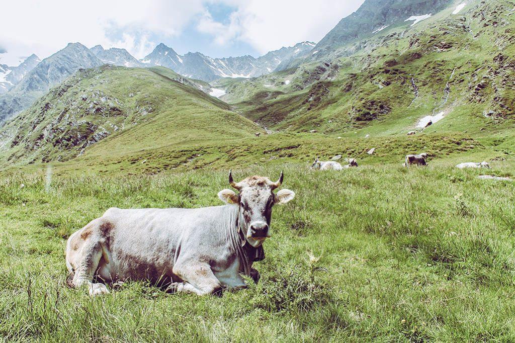 Eine liegende Kuh am Wanderweg zum Seebersee