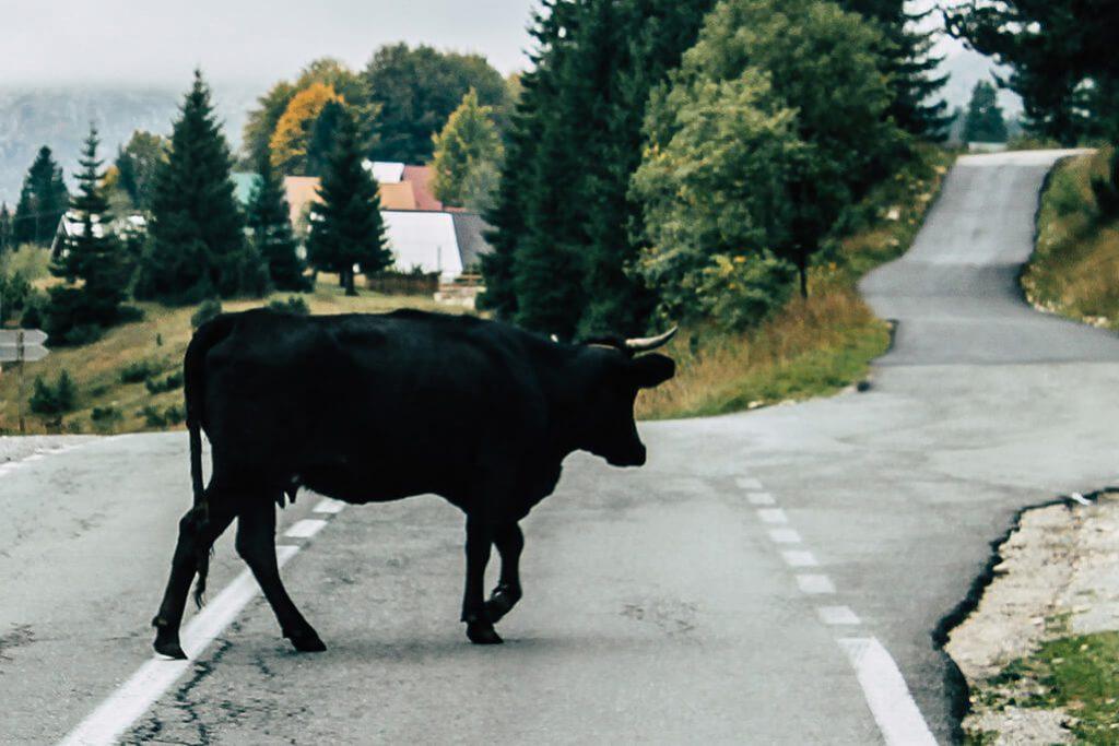 Kuh auf Strasse in Montenegro