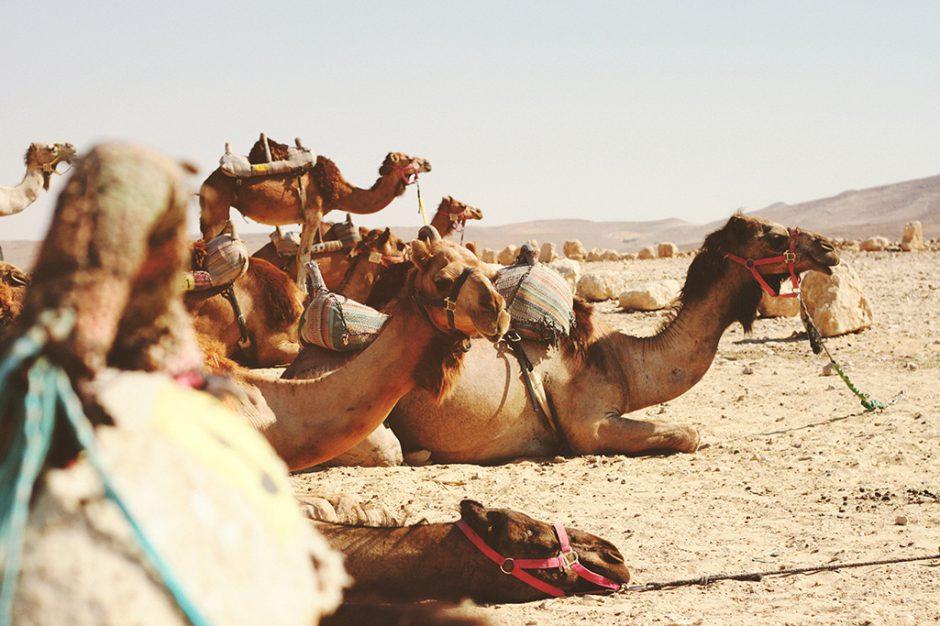 Kamele in der Wüste Jordaniens