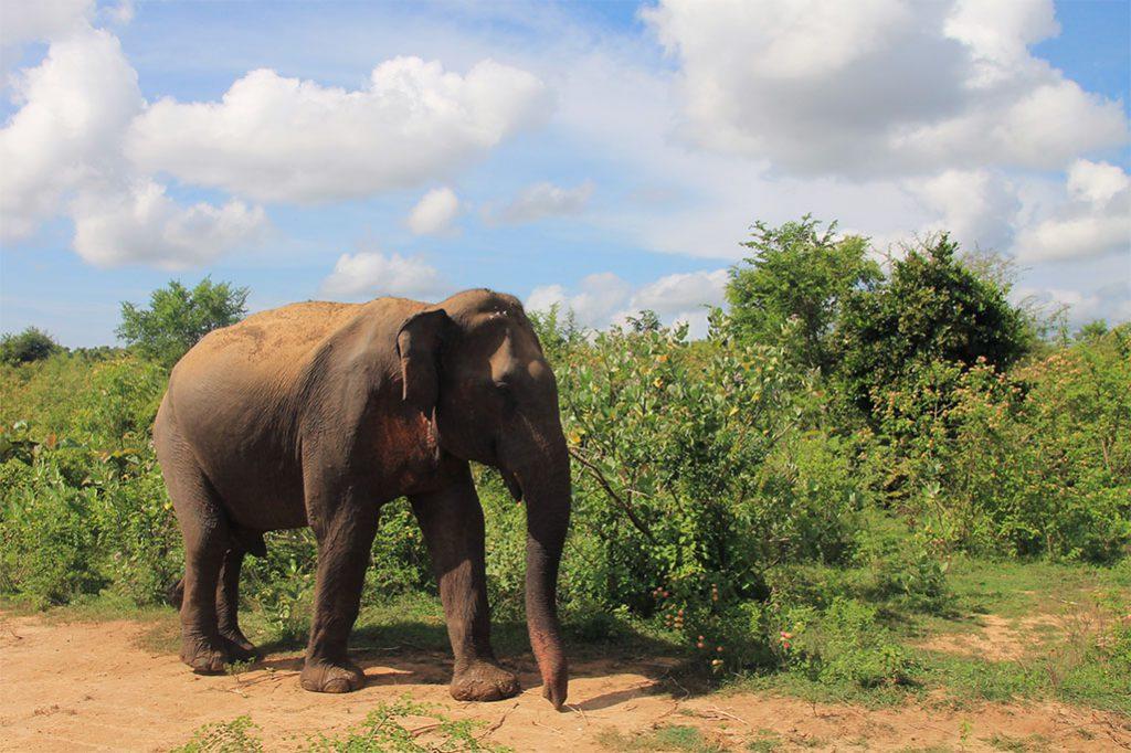 Elefant im Udawalawe Nationalpark