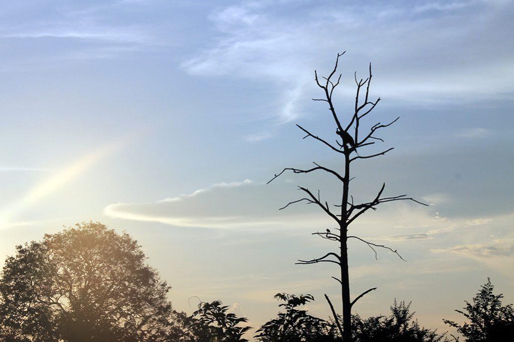 Pfau auf Baum im Udawalawe Nationalpark