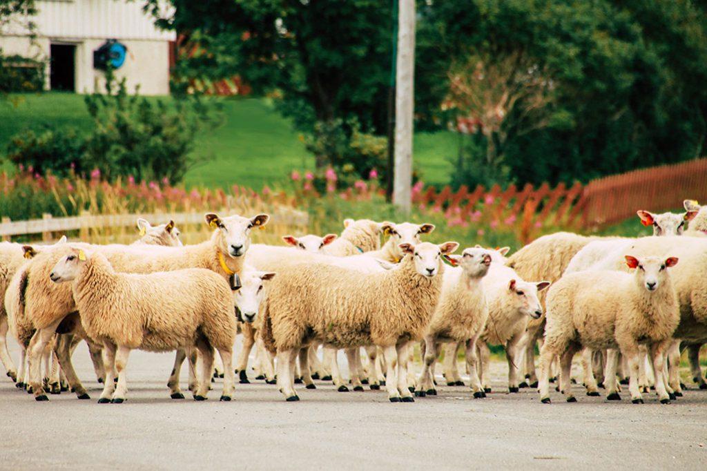 Eine Schafherde auf einer Straße auf Senja
