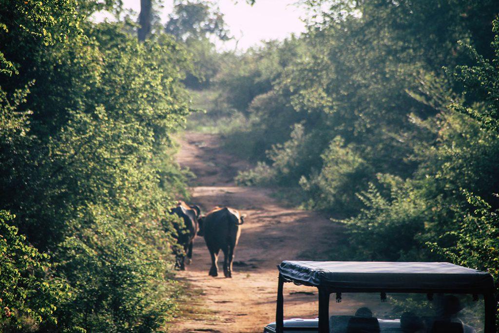 Büffel auf einem Weg im Udawalawe Nationalpark