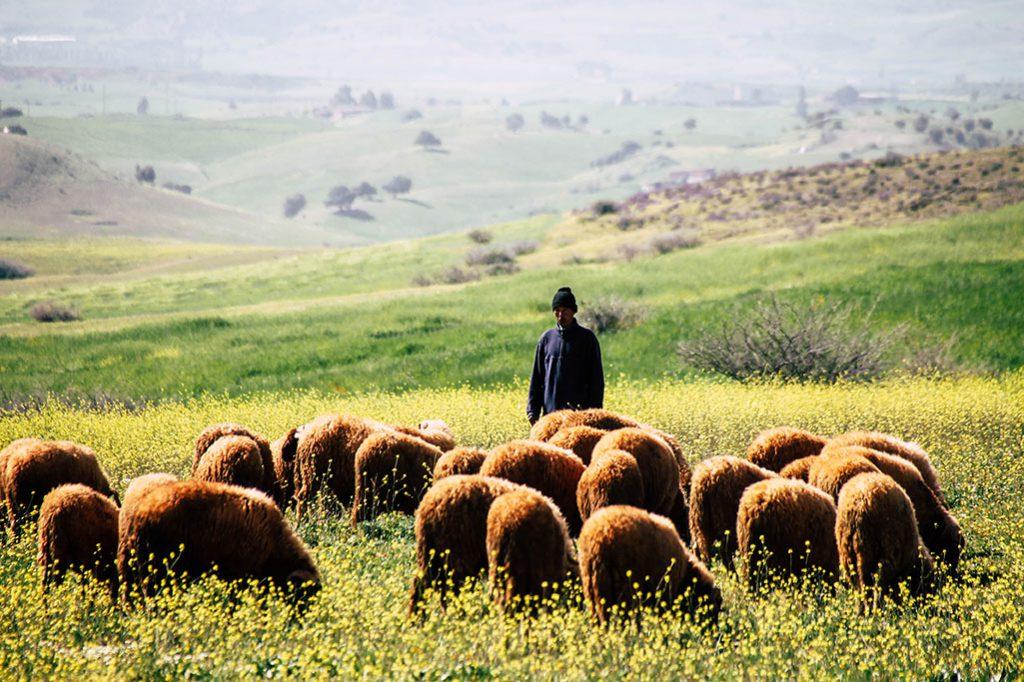 Schaefer und Schafherde in Marokko