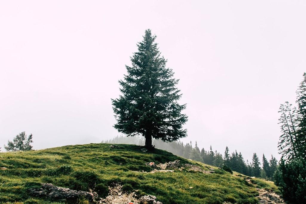 einzelner Nadelbaum auf dem Adlerweg