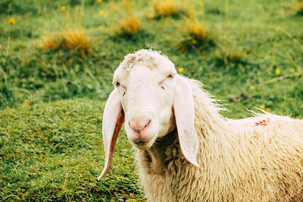 Nahaufnahme eines Schafs