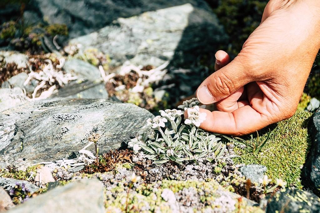 Edelweiss am Grossglockner