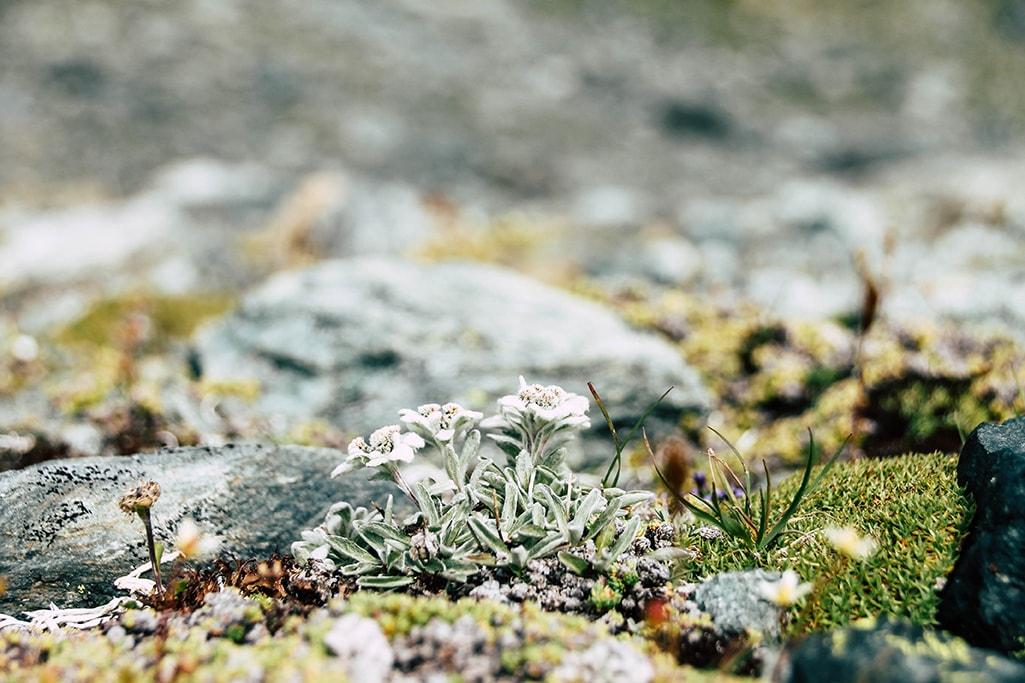 Edelweiss im Nationalpark Hohe Tauern