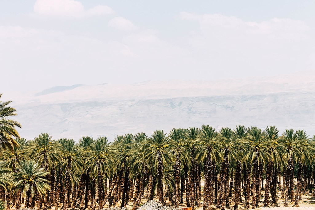 Palmen am Ufer des Toten Meeres