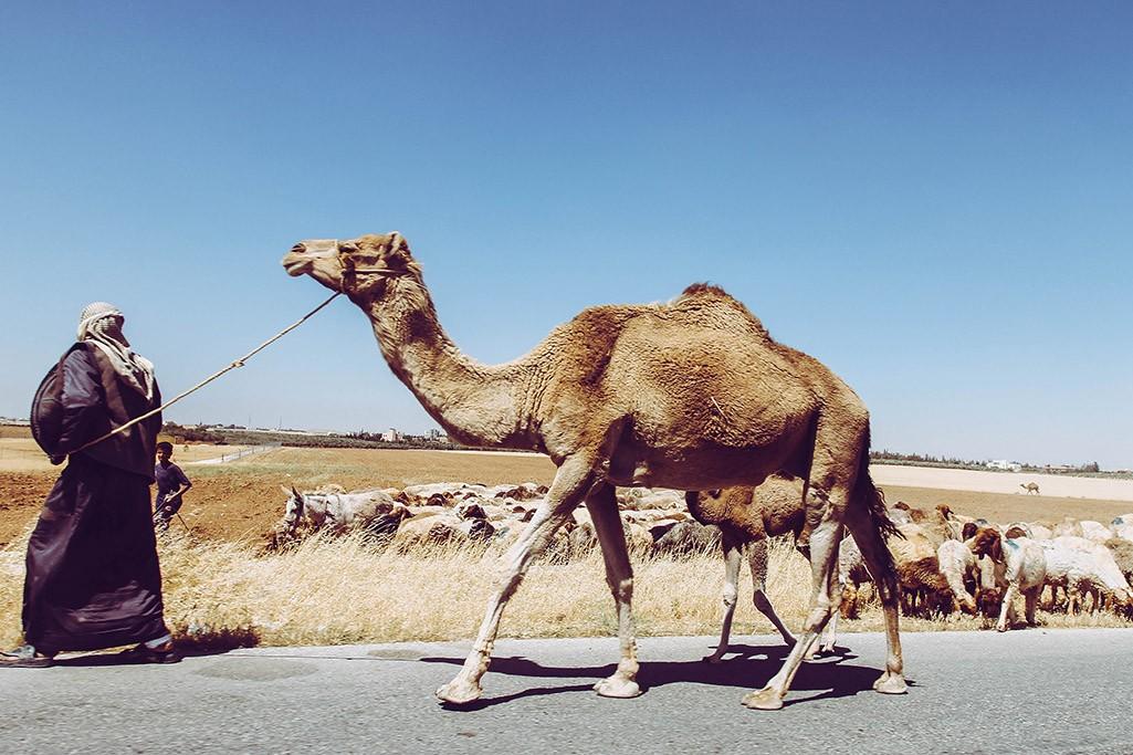 Kameltreiber in Jordanien