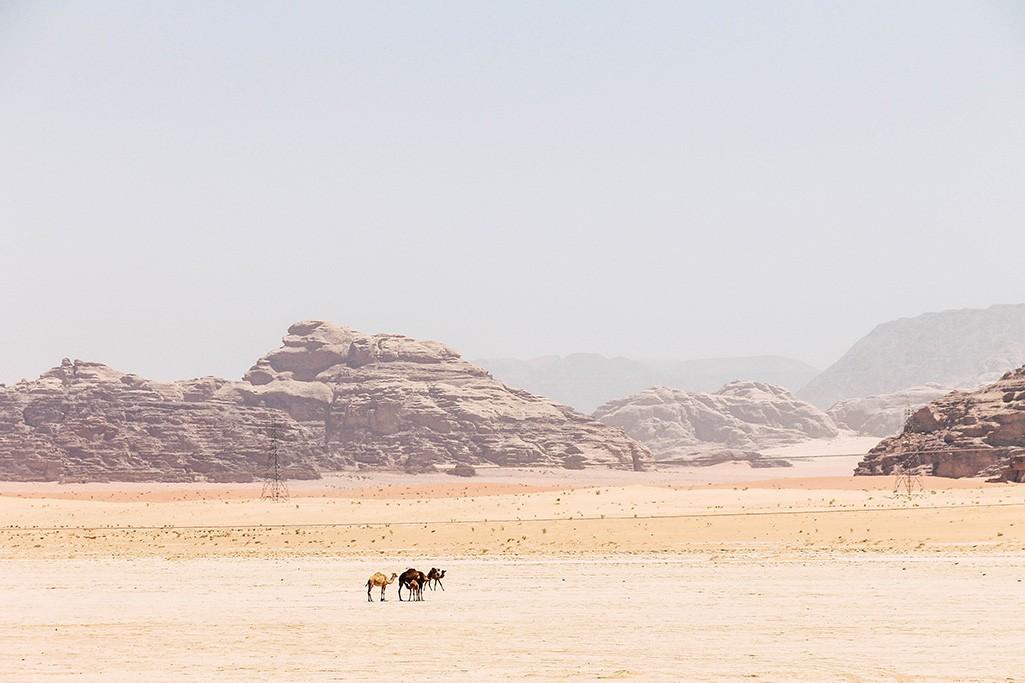 Kamele im Wadi Rum