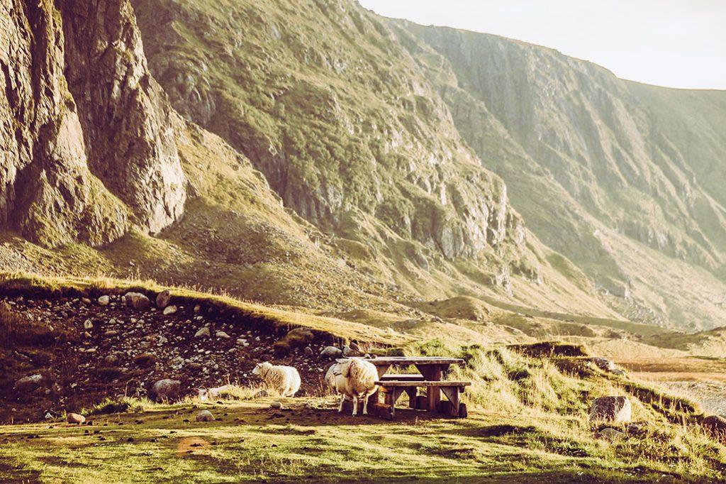 Schafe bei Eggum auf der Landschaftsroute auf den Lofoten