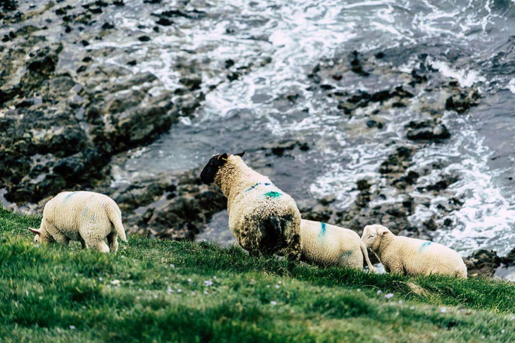 Schafe am Meer auf dem Anglesey Coastal Path
