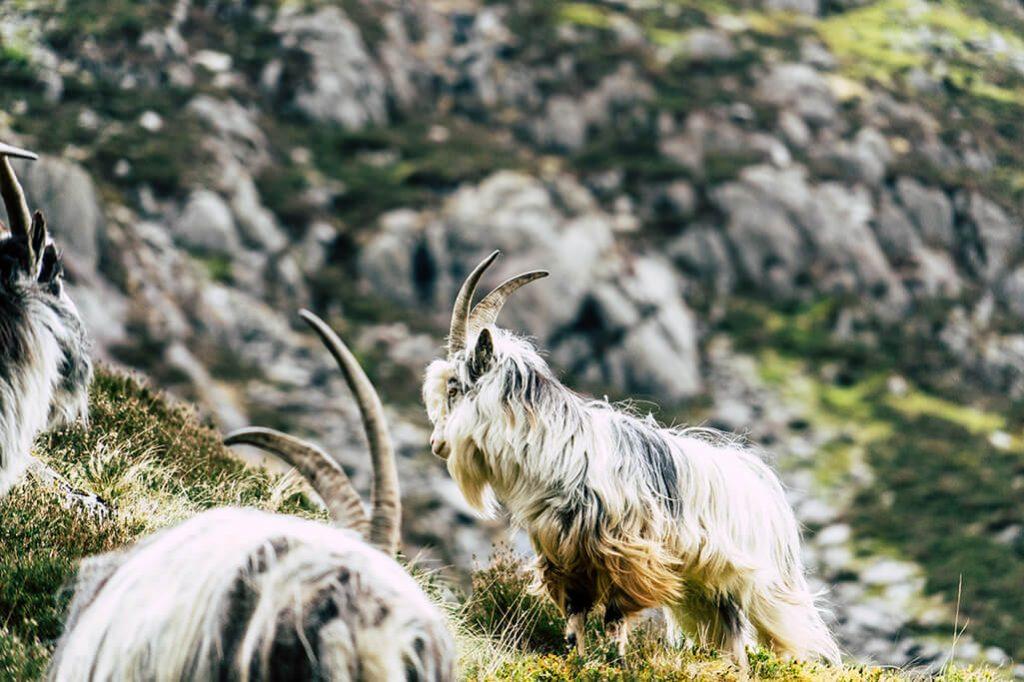wilde Ziegen im Snowdonia Nationalpark