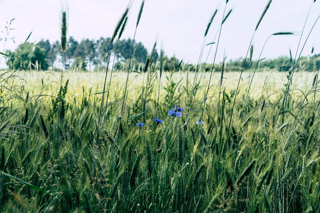 bluehender Wegesrand am Feld im Naturpark Saar-Hunsrueck