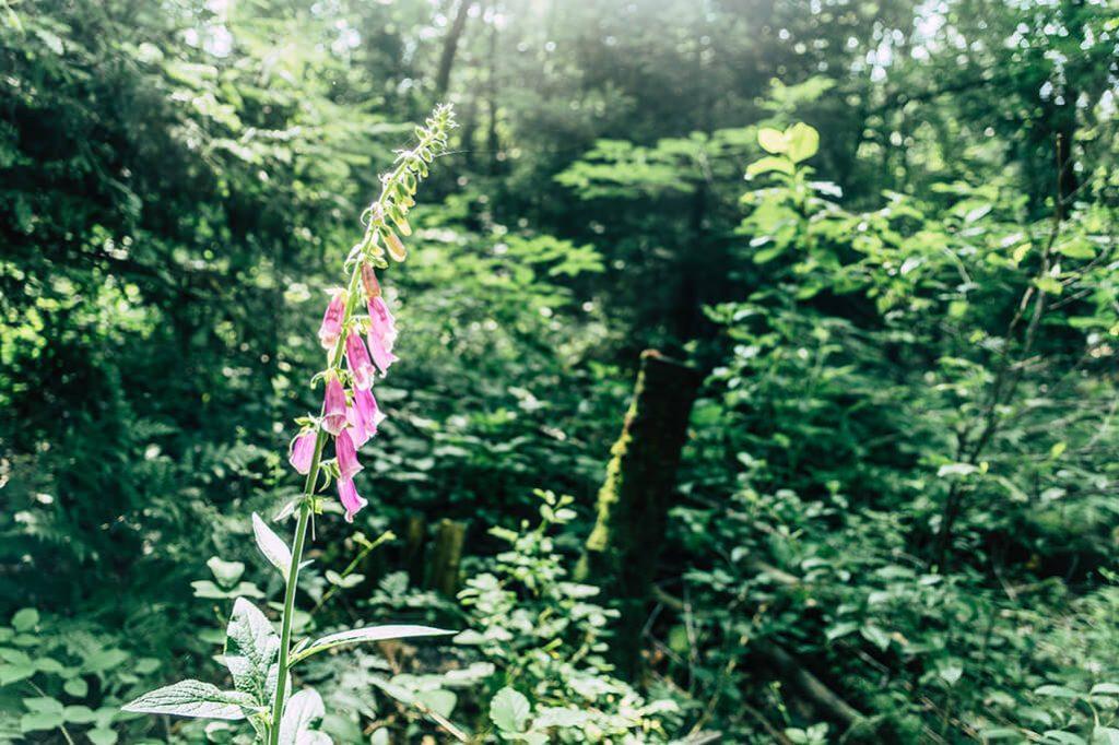 Blume am Wegesrand vom Saar-Hunsrueck-Steig