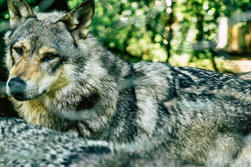 Wolf im Wolfspark Werner Freund