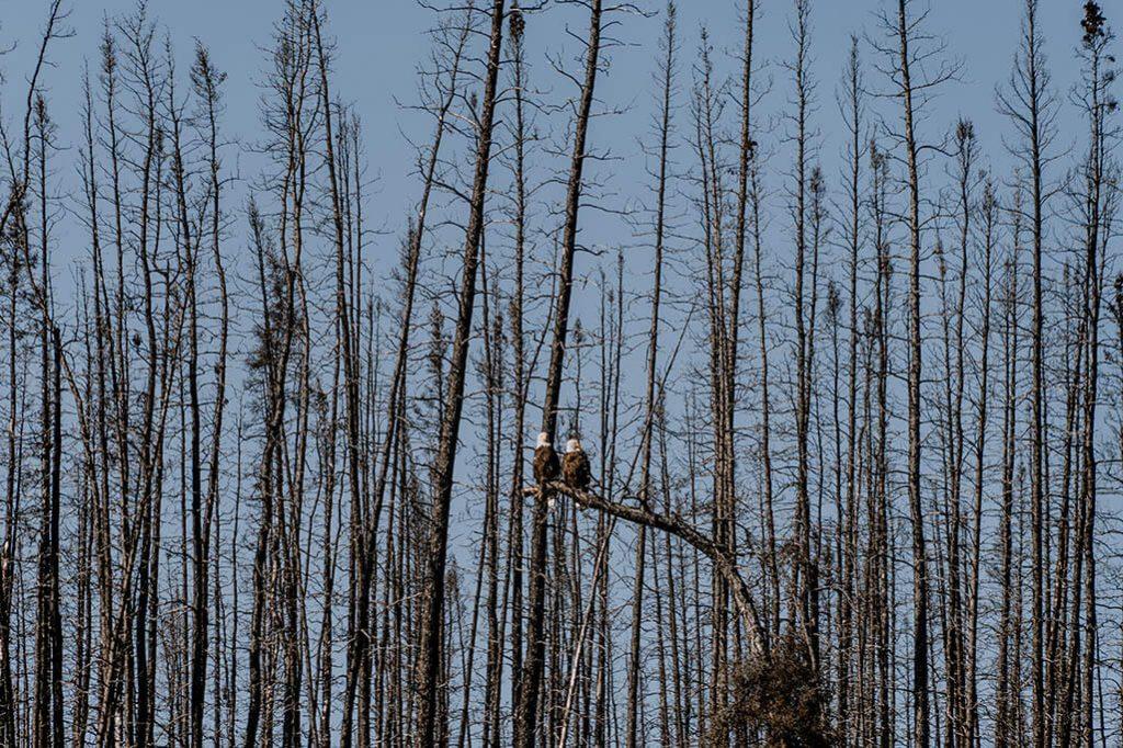 Weisskopfseeadler Paar auf Baeumen im Yukon