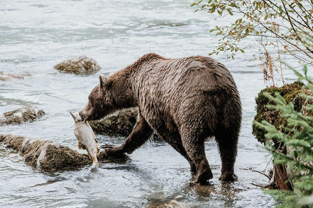 Baer beim Lachsfischen am Chilkoot River