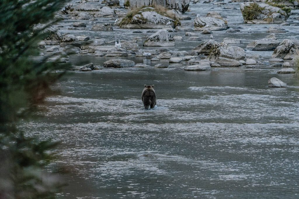 Baer sucht im Wasser nach Lachs