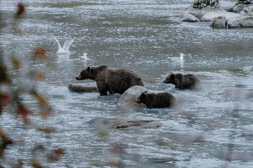 Grizzly Mutter mit Nachwuchs