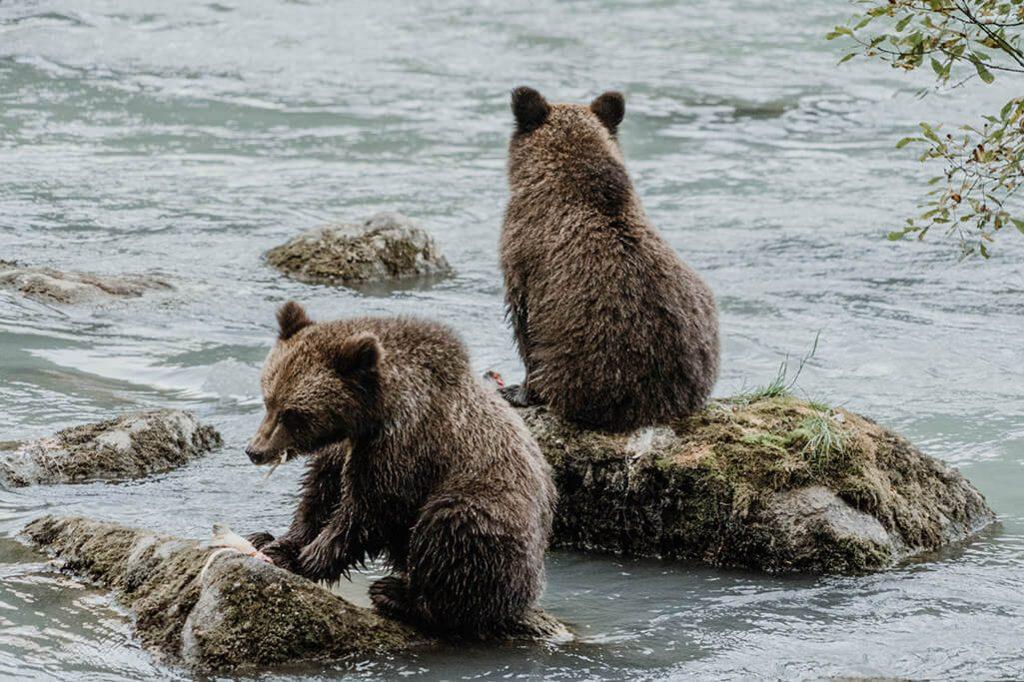 Grizzly Nachwuchs in Alaska