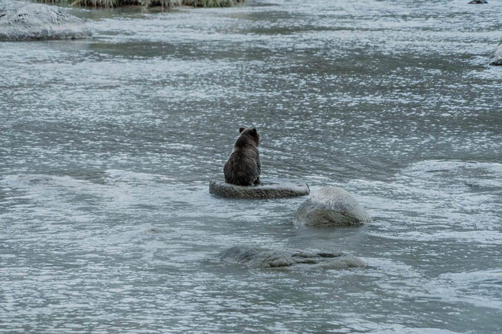 einzelner Baer auf Stein im Wasser