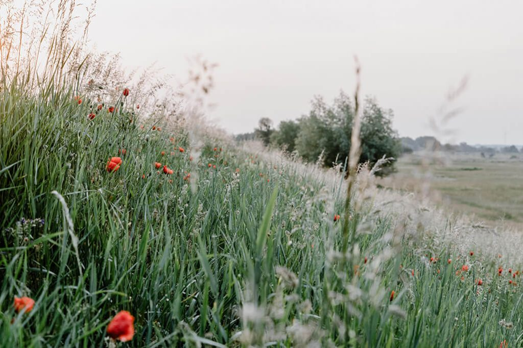 Blumenwiese im Oderbruch