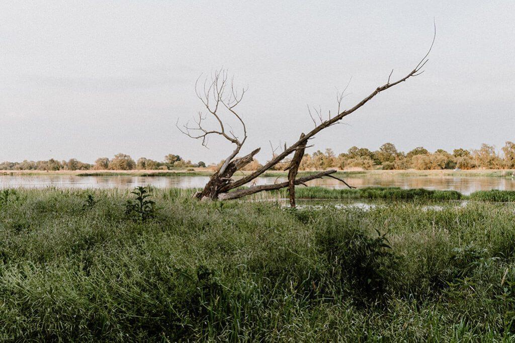 Baumstumpf an der Oder im Oderbruch