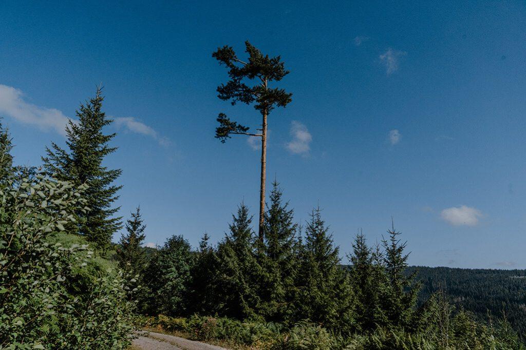 einzelner Baum am Seensteig