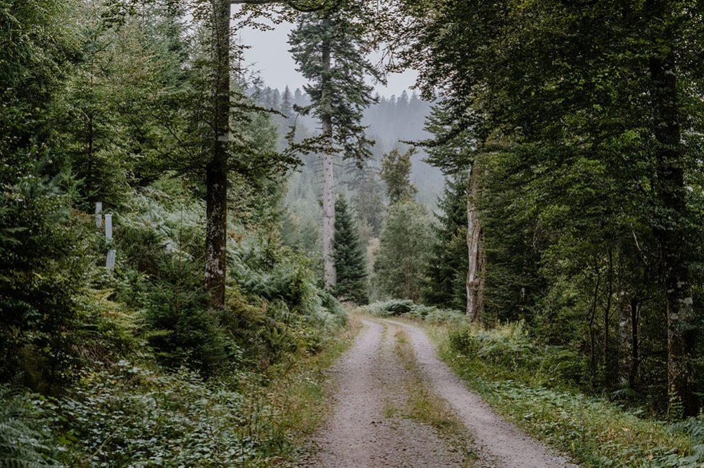Tanne am Forstweg auf Etappe 1 vom Seensteig