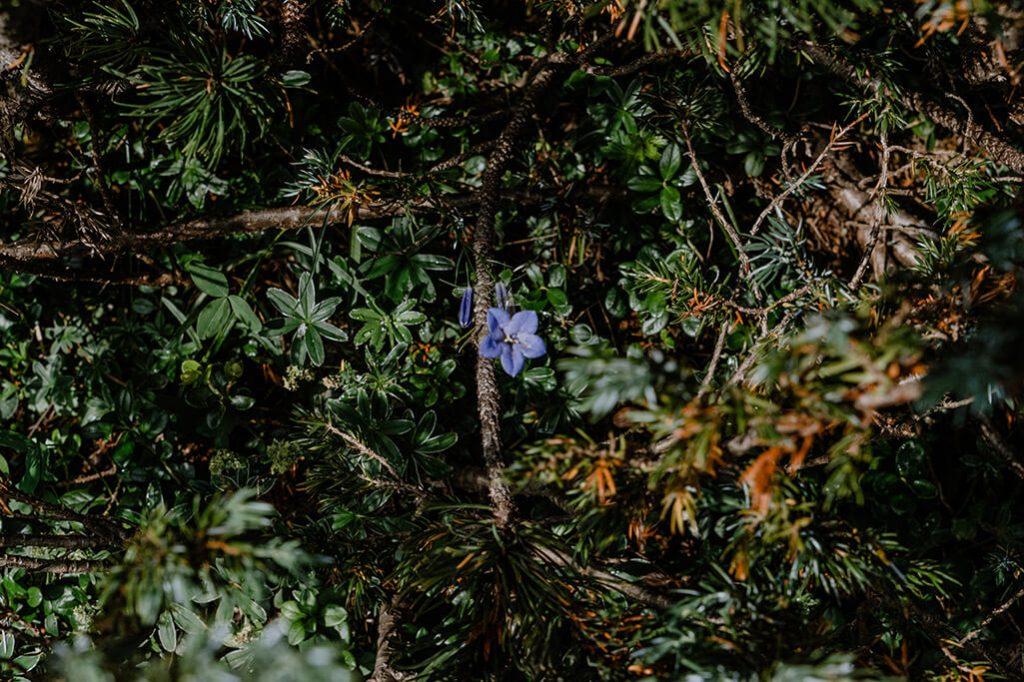 Blume in Lila auf einem Wanderweg der Tiroler Zugspitz Arena