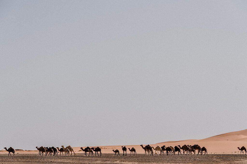 Erg Chebbi Kamele
