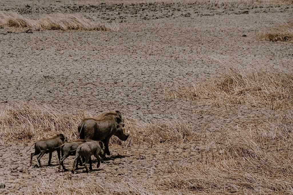 Diawling National Park Warzenschweine